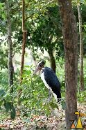 Adjutant in the woods, Tamao Wildlife Reserve, Cambodia, bird, Lesser Adjutant, Leptoptilos javanicus, woods, captive
