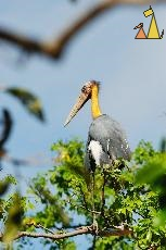 Adjutant in tree top, Tamao Wildlife Reserve, Cambodia, bird, Lesser Adjutant, Leptoptilos javanicus, tree top, captive