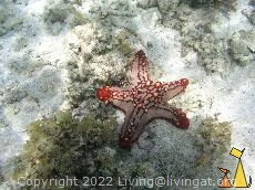 African sea star, Anakao, Madagascar, sea star, African sea star, Horned sea star, Protoreastor lincki