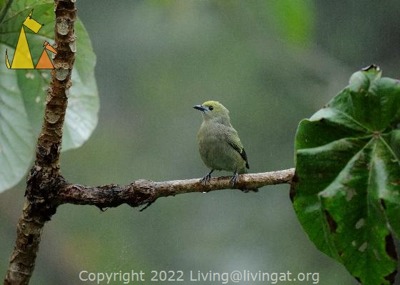 All in Green, Canopy Tower, Panama, bird, Thraupis palmarum, Palm Tanager, green