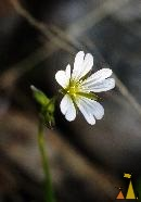 Alpine Mouse-ear light, Utsjoki, Finland, macro, plant, flower, Cerastium alpinum