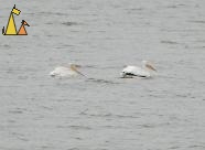 American White Pelicans, Black Dog, Minneapolis, USA, bird, water bird, American White Pelican, Pelecanus erythrorhynchos