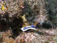 Annas Chromodoris, Sabang, Philippines, underwater, nudi, Annas chromodoris, Chromodoris annae