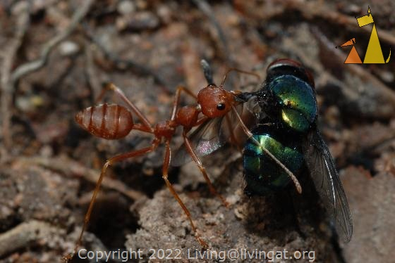 Ant carrying a bottle fly, Banteay Samre, Siem Reap, Cambodia, insect, ant, fly, Angkor, Oecophylla smaragdina, Red weaver ant, Lucilia sp