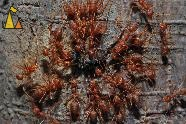 Ants dissecting enemy, Angkor Thom Moat, Siem Reap, Cambodia, insect, ant, Red weaver ant, Oecophylla smaragdina