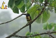 Aracari Belly, Cannopy Tower, Panama, bird, Guinness, Collared Aracari, Pteroglossus torquatus
