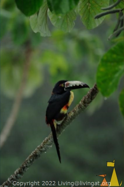 Aracari cheking me out, Cannopy Tower, Panama, bird, Guinness, Collared Aracari, Pteroglossus torquatus