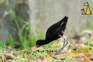 Ass High, Ammo Dump, Canal, Panama, bird, black, Jacana jacana, ass, arse, bend over