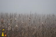 Autumn morning, Angarn, Sweden, plant, mist, Common Cattail, Typha angustifolia, Cyanistes caeruleus