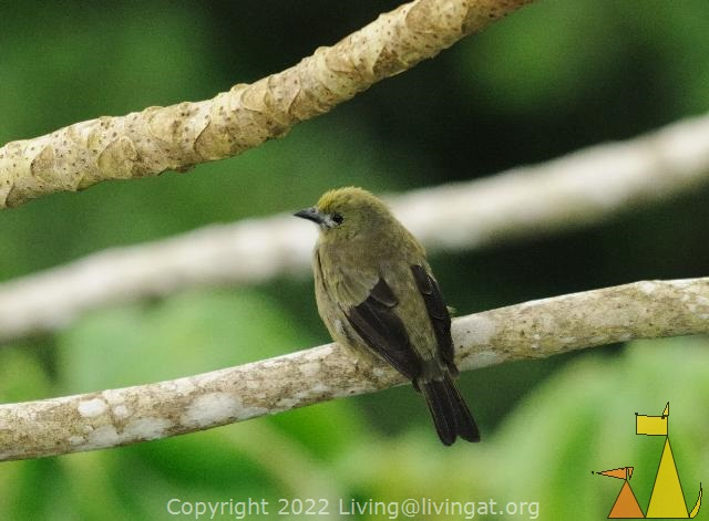 Back of Palm Tanager, Canopy Tower, Panama, bird, Thraupis palmarum, Palm Tanager