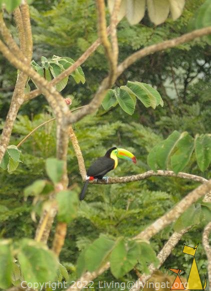 Back of a Toucan, Canopy Tower, Panama, bird, tree, Keel-billed Toucan, Ramphastos sulfuratus