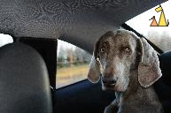 Backseat Baby, Sweden, dog, Canis lupus familiaris, Doris, Weimaraner, The Grey Ghost, Alfa Romeo, GTV, backseat
