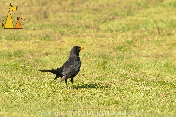 Balckbird collecting, Landet, Sweden, bird, Turdus merula, grass, Common Blackbird