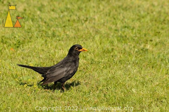Balckbird on a mission, Landet, Sweden, bird, Turdus merula, grass, Common Blackbird