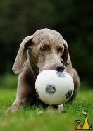 Ball in her mouth, Landet, Sweden, dog, Canis lupus familiaris, Doris, Weimaraner, The Grey Ghost, ball, football
