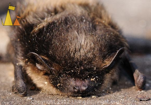 Bat face, Landet, Sweden, mamal, animal, Northern Bat, Eptesicus nilssoni