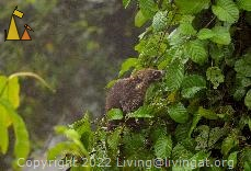 Bear Eating Berries, Canopy Tower, Panama, mammal, White-nosed coati, Nasua narica, tree, eating, berries