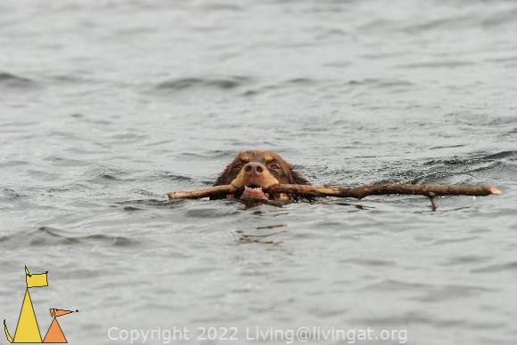 Beaver?, Landet, Sweden, Koffi, beaver, stick, swimming, dog, bitch, Canis lupus familiaris