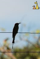 Bee-eater silhouette, Tamao Wildlife Reserve, Cambodia, bird, fence, Blue-throated Bee-eater, Merops viridis, silhouette
