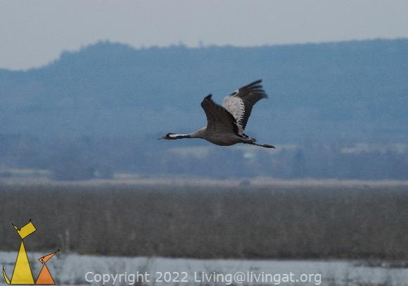 Big bird, Hornborgasjön, Sweden, bird, Grus grus, Common Crane