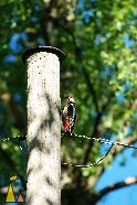 Bird getting it down, Landet, Sweden, bird, Dendrocopos major, telephone pole, Great Spotted Woodpecker