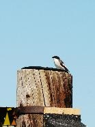 Bird on a pole, Landet, Sweden, bird, Ficedula hypoleuca, European Pied Flycatcher, pole