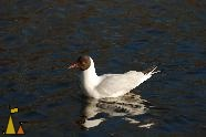 Black-headed Gull, Stockholm, Sweden, bird, Black-headed Gull, Larus ridibundus
