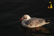 Black-headed Gull, Stockholm, Sweden, bird, Black-headed Gull, Larus ridibundus, Riddarfjärden