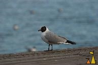 Black-headed Gull, Stockholm, Sweden, bird, Black-headed Gull, Larus ridibundus, Strandvägen
