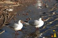 Black-headed Gulls, Stockholm, Sweden, bird, Black-headed Gull, Larus ridibundus