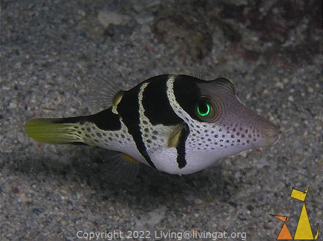 Black-saddled toby, Anakao, Madagascar, underwater, fish, Black-saddled toby, Canthigaster valentini