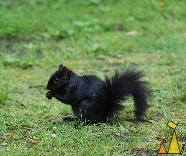 Black Eastern Gray, Vancouver, Canada, Black Eastern Gray Squirrel, Eastern Gray Squirrel, Sciurus carolinensis