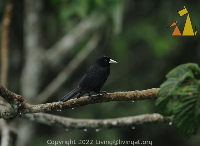 Black bird, Canopy Tower, Panama, bird, Cacicus uropygialis, black, Scarlet-rumped Cacique