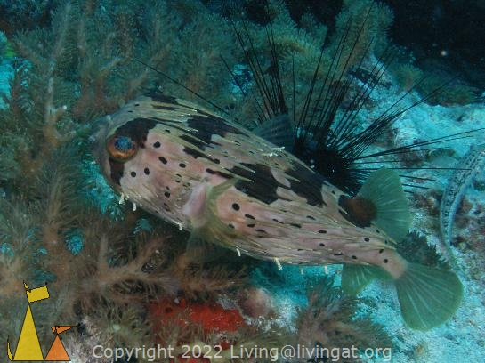 Black blotched porcupinefish, Malapascua, Philippines, underwater, fish, Black blotched porcupinefish, Diodon liturosus