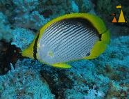 Blackbacked, Red Sea, Egypt, underwater, fish, Black-backed butterflyfish, Chaetodon melannotus