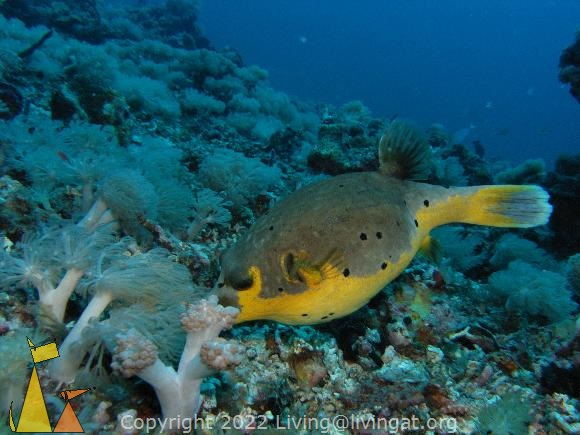 Blackspotted, Malapascua, Philippines, underwater, fish, Blackspotted puffer, Arothron nigropunctatus