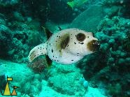Blackspotted puffer, Nosy Bee, Madagascar, underwater, fish, Blackspotted puffer, Arothron nigropunctatus