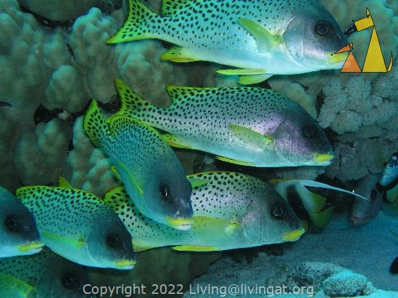 Blackspotted sweetlip, Egypt, underwater, fish, Blackspotted sweetlip, Plectorhinchus gaterinus