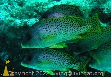 Blackspotted sweetlip, Nosy Bee, Madagascar, underwater, fish, Blackspotted sweetlip, Plectorhinchus gaterinus