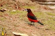 Blood of the bull, Isla Coiba, Panama, bird, red, Ramphocelus dimidiatus, clay