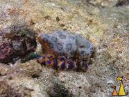 Blue-ringed octopus, Sabang, Philippines, underwater, Greater Blue-ringed octopus, Hapalochlaena lunulata