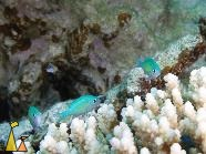 Blue Green chromis, Red Sea, Egypt, underwater, fish, Blue Green chromis, Chromis viridis