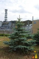 Blue Spruce, Chernobyl, Ukraine, Pripyat, reactor, nuclear, tree, Colorado Blue Spruce, Picea pungens