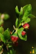 Blueberry flower, Älgö, Stockholm, Sweden, plant, flower, Vaccinium myrtillus, Common Bilberry, Blueberry