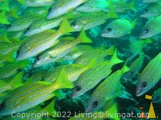 Bluelined snapper, Maldives, Bluelined snapper, Lutjanus kasmira, Maldives