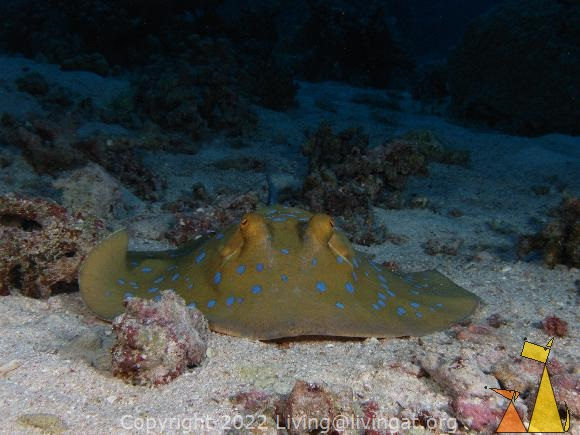 Bluespotted, Red Sea, Egypt, underwater, ray, Bluespotted ribbontail ray, Taeniura lymma