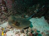 Bluespotted, Similan, Thailand, underwater, Bluespotted stingray, Dasyatis kuhlii, ray