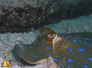 Bluespotted ribbontail, Sudan, underwater, fish, ray, Bluespotted ribbontail ray, Taeniura lymma
