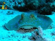 Bluespotted ribbontail ray, Egypt, Bluespotted ribbontail ray, Taeniura lymma