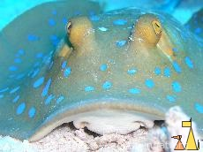 Bluespotted ribbontail ray, Egypt, underwater, fish, Bluespotted ribbontail ray, Taeniura lymma